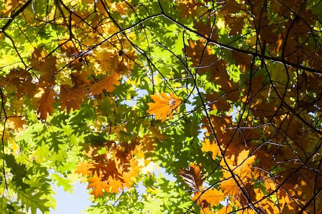Zmiana koloru liści dębu podczas jesiennych liści, zbliżenie gałęzi, z których niektóre są oświetlone światłem słonecznym przez gęste liście,