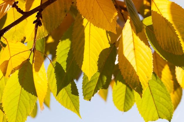 Zmieniając kolor liści drzew w sezonie jesiennym, liście słonecznej pogody są żółtozielone