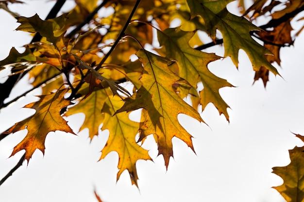 Zmieniający kolor dąb w sezonie jesiennym, liście dębu są uszkodzone i opadną, drzewa liściaste, w tym dąb przed opadnięciem liści, zbliżenie