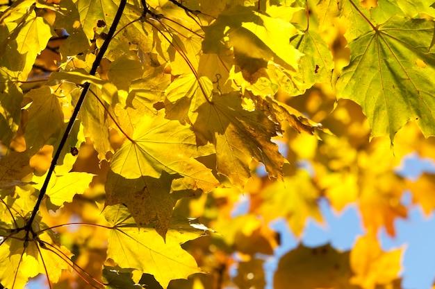 Zmieniono kolor liści klonu przy słonecznej pogodzie w parku, szczegóły jesiennego zbliżenia natury
