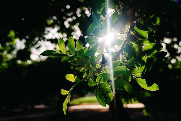Zmierzch między zielonymi liśćmi niektóre drzewa w lesie, naturalny tło z sunflares.