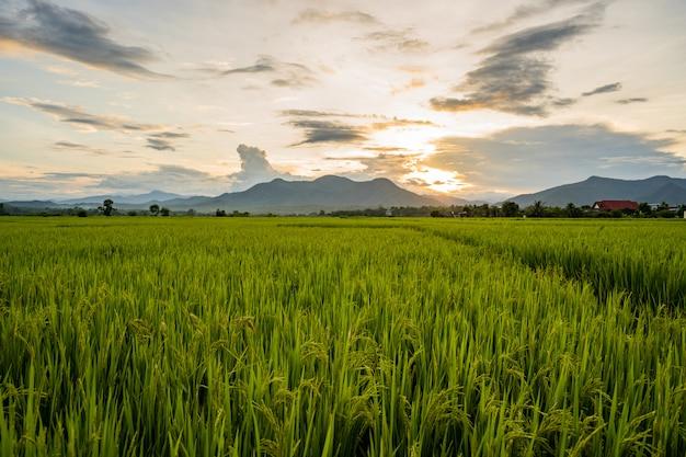 Zmierzch przy ryżu pola głąbikiem