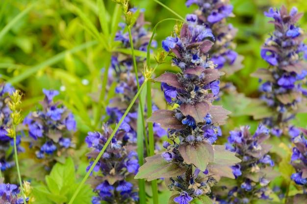 Żmijowiec zwyczajny, znany jako bugloss żmii i blueweed to gatunek rośliny kwitnącej z rodziny ogórecznika boraginaceae. pochodzi z większości krajów europy oraz zachodniej i środkowej azji.