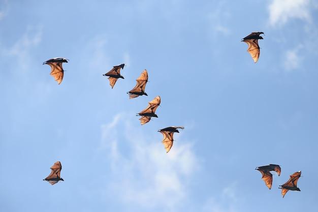 Znany również jako nietoperz wielkoowocowy, jest gatunkiem latającego lisa z rodziny pteropodidae. prowadzi nocny tryb życia i żywi się głównie dojrzałymi owocami, takimi jak mango i banany oraz nektarem.