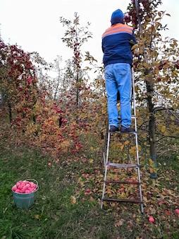 Żniwny. starszy mężczyzna zrywa jabłka stojąc na schodach w ogrodzie późną jesienią