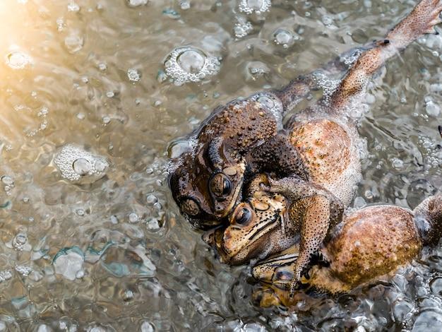 Zobacz grupę żab w rzece w sezonie lęgowym