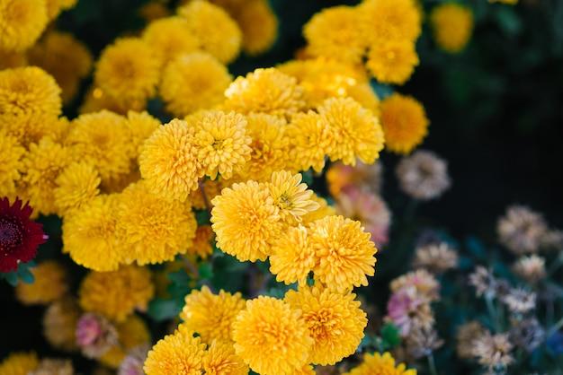 Żółci chryzantema kwiaty kwitną w ogródzie w jesieni