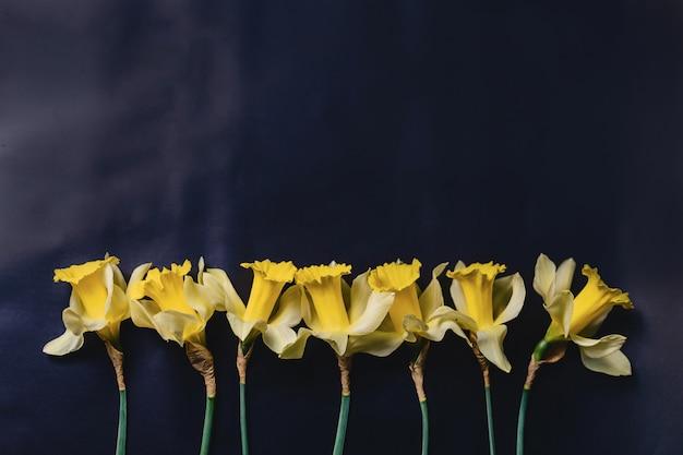 Żółci daffodils kwitną na ciemnym tle