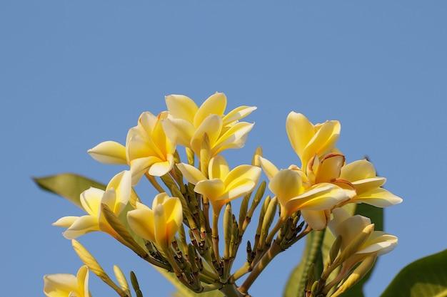 Żółci frangipani kwiaty lub tropikalny kwiat z niebieskiego nieba tłem