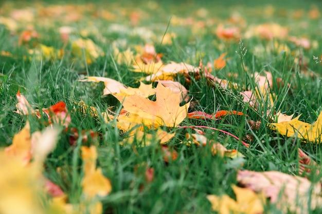 Żółci i czerwoni liście klonowi na zielonej trawy tle.