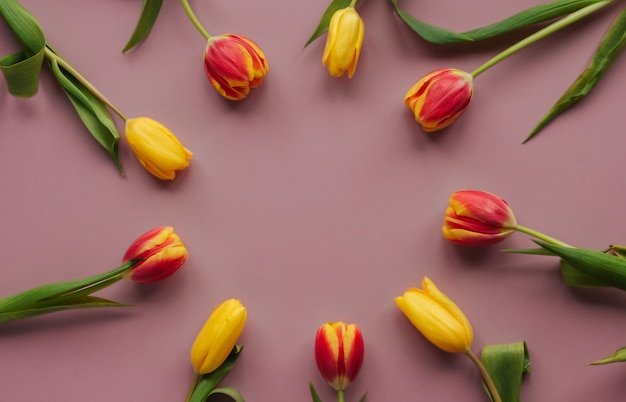 Żółci i czerwoni tulipany na różowej odosobnionej tło kopii przestrzeni. okrągła rama tulipanów.