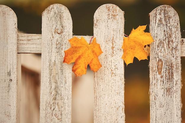 Żółci liście klonowi na białym ogrodzeniu. selektywne ustawianie ostrości.