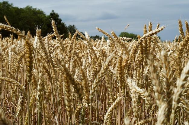 Żółci pszeniczni spikelets w polu