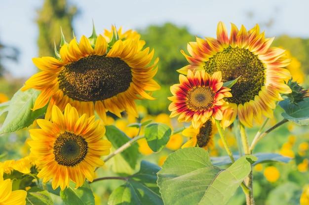 Żółci słoneczniki na tle lata niebo