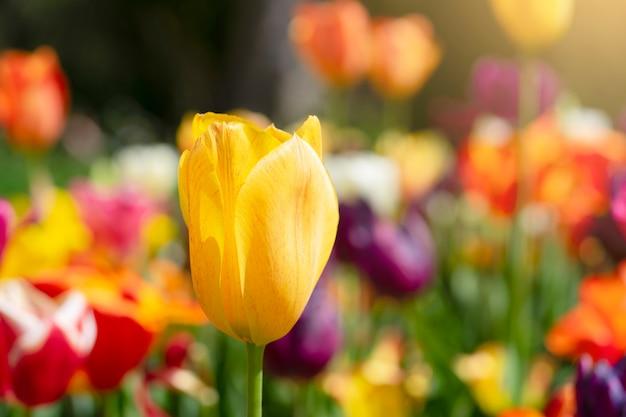 Żółci tulipany w angielskim ogródzie w słonecznym dniu na wiośnie przy anglia