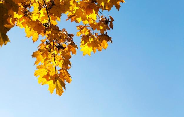 Żółknięcie liści na drzewach klonowych w okresie jesiennym. błękitne niebo w tle.