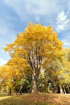 Żółknięcie liści na drzewach klonowych w sezonie jesiennym.