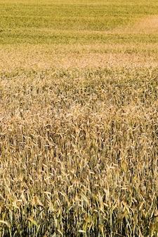 Żółknięta pszenica latem, pole zbóż rolniczych, które są prawie dojrzałe i gotowe do zbioru