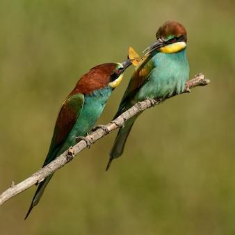 Żołna europejska (apiaster merops) przekazuje pożywienie innemu żołniakowi.