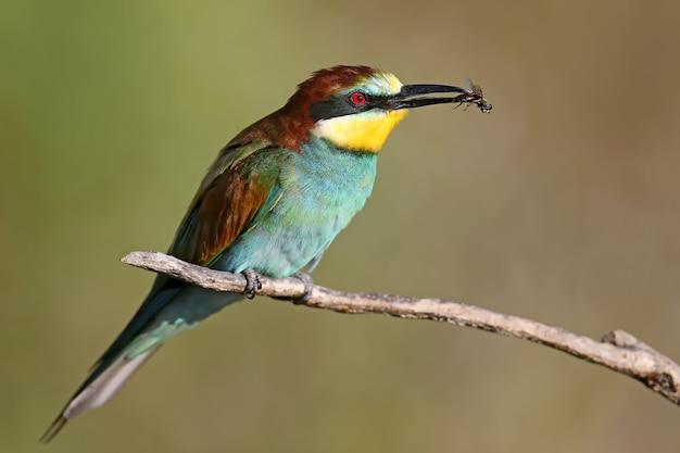 Żołna europejska siedzi na gałęzi i trzyma w dziobie dużą muchę