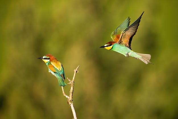 Żołna latająca wokół innego siedzącego na gałązce w lecie rano