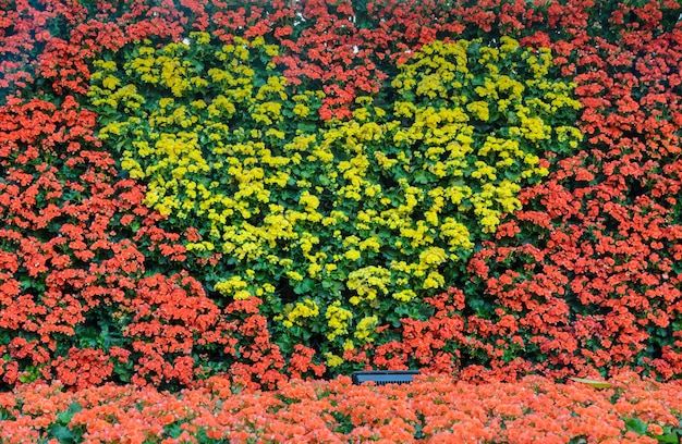 Żółta begonia kwitnie w kierowej kształt ścianie