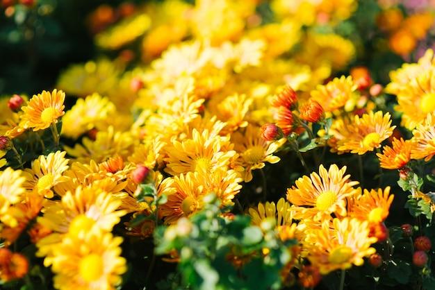 Żółta chryzantema kwitnie w ogródzie