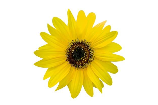 Żółta chryzantema odizolowywająca na bielu