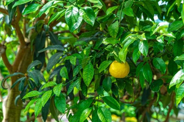 Żółta cytryna na zielonym drzewie.