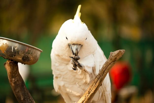 Żółta czubata kakadu papuga trzyma dokrętki i je