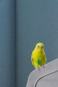 Żółta falista papuga lub budgie siedzi na wieszaku na niebieskiej ścianie