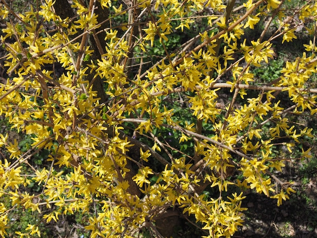 Żółta forsycja (forsythia x intermedia) kwiat