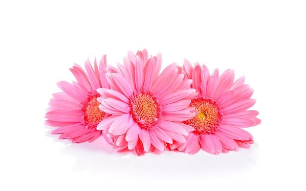 Żółta gerbera, transvaal daisy lub barberton daisy flower