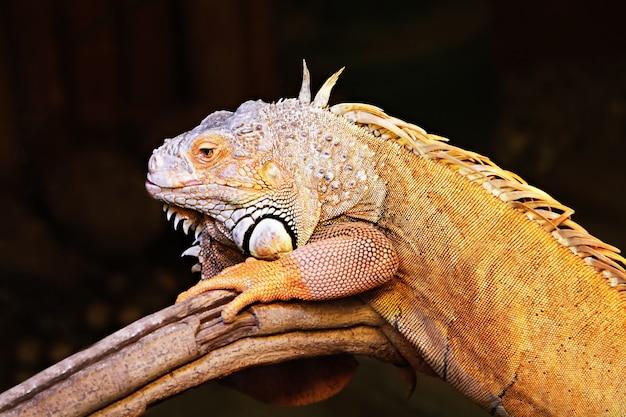 Żółta iguana