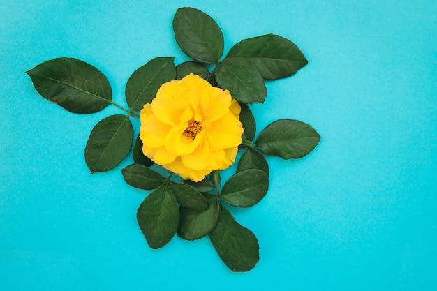 Żółta kwitnąca róża z zielonymi liśćmi na niebieskim tle. prezent na święta.