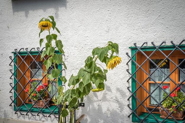Żółta kwitnąca słonecznikowa pobliska dom ściana przed okno