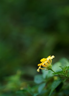 Żółta lantana z bliska