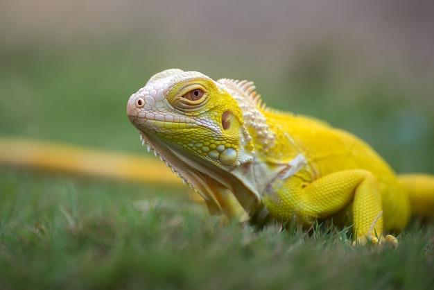 Żółta legwan albinos na trawie