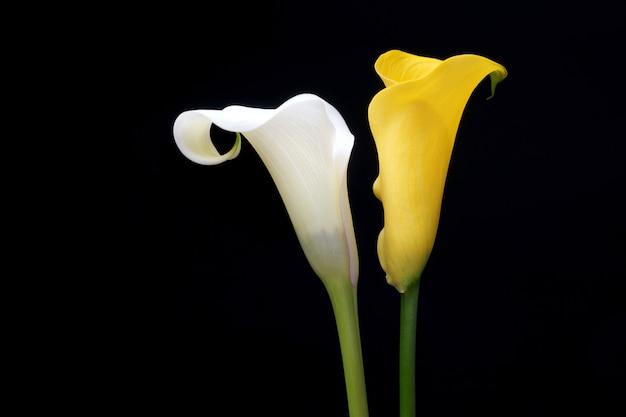 Żółta lilia calla, na białym tle na czarnym tle