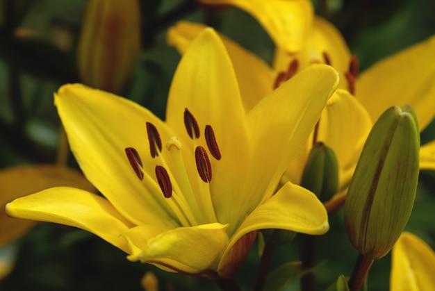 Żółta lilia szafranowa lub lilia ognista (lilium bulbiferum) w letnim ogrodzie