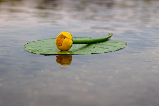 Żółta lilia wodna kwitnie na rzece. żółty kwiat. nenufar
