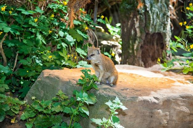 Żółta mangusta na dzienniku. cynictis penicillata