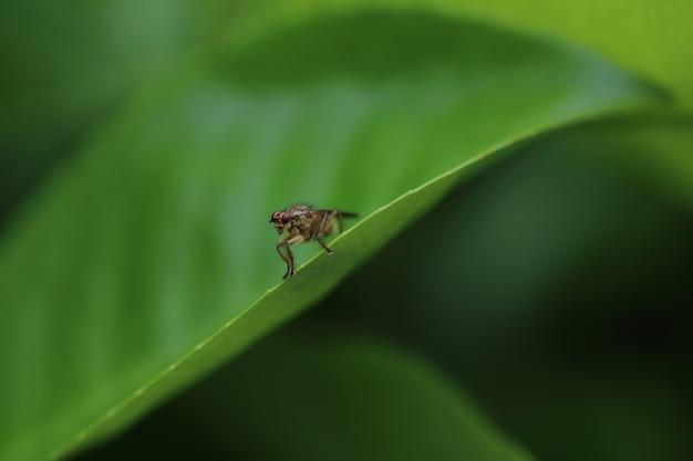 Żółta mucha gnojowa lub złota mucha gnojowa