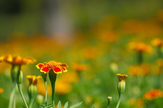 Żółta nagietka kwiatu tagetes patula w ogródzie