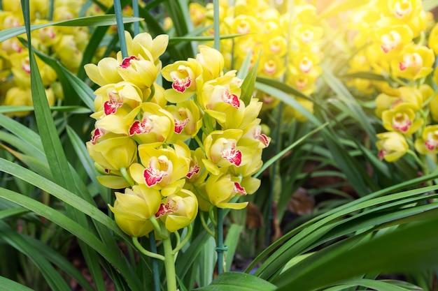 Żółta orchidea cymbidium ma bardzo ozdobne kolce kwiatowe.