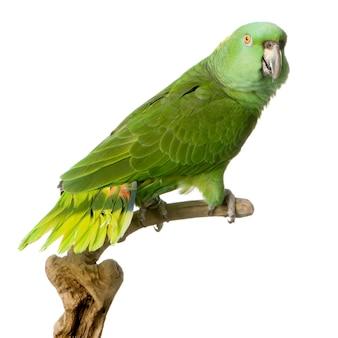 Żółta papuga na białym tle