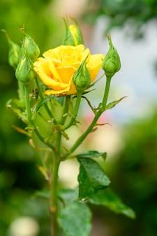 Żółta róża i pąki