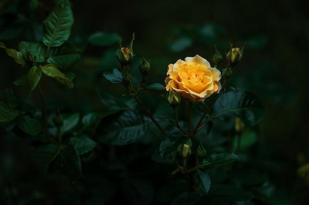 Żółta róża kwitnąca w ciemnym, jasnym ogrodzie