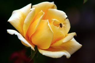 Żółta róża, latanie