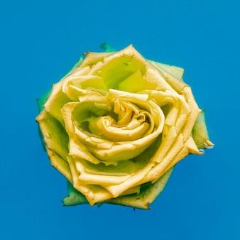 Żółta róża leżała płasko w wodzie